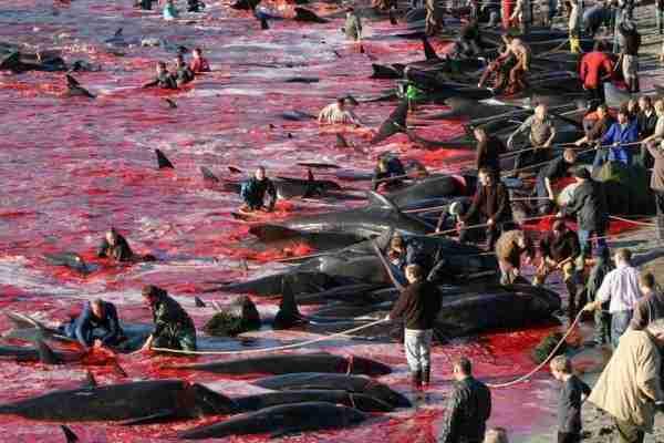 grindadrap-grind-massacre-dauphin-iles-feroe